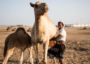 Camel farm. Aden, Yemen. January 2018